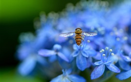Preview wallpaper Blue hydrangea, petals, flowers, insect, bee