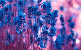 Blue lavender flowers, purple bokeh