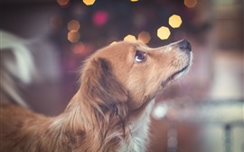 Preview wallpaper Brown dog, look up