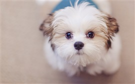 Preview wallpaper Cute white dog, face, eyes
