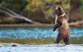 Preview wallpaper Grizzly bear, predator, Canada, river, water