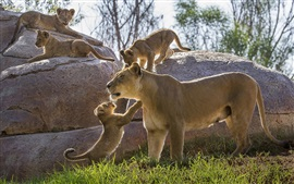 Lioness, cubs, stones