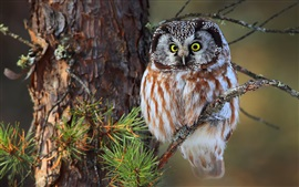 Preview wallpaper Little owl, tree, branches