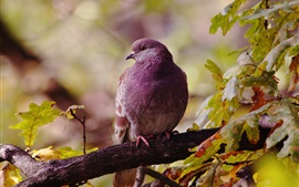 Preview wallpaper Lonely bird, dove, autumn, leaves