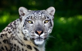 Preview wallpaper Predator, leopard, face, big cat, bokeh