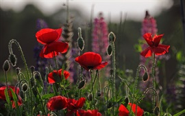 Preview wallpaper Red flowers, poppies, meadow, sky, evening