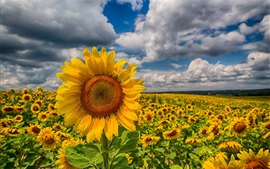 Sunflowers, fields, clouds, sky