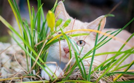 Preview wallpaper White kitten hidden in grass
