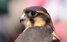 Pássaro close-up, falcon