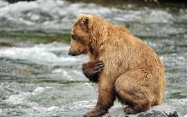 Oso pardo, agua, río, rocas