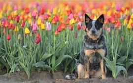 Preview wallpaper Dog, tulips