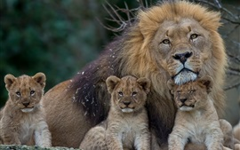 Preview wallpaper Lion with lion cubs