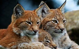 Preview wallpaper Lynx, wild cat, family