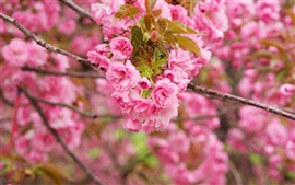 Pink cherry flowers, branches, bloom