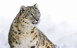 Preview wallpaper Snow leopard, big cat