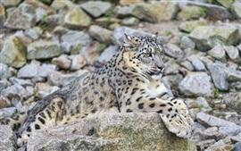 Snow leopard, predator, rocks