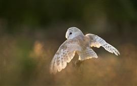 Pássaro branco, coruja, asas