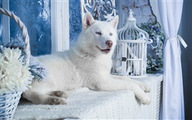 Preview wallpaper White husky dog