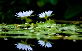Preview wallpaper White water lilies, lake, black background