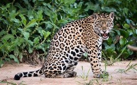 Animal close-up, jaguar, gato grande