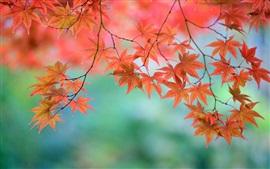 Красивые красные кленовые листья, ветки, японские