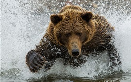 Brown bear, water, splash