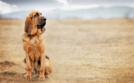 Коричневый собака, песок