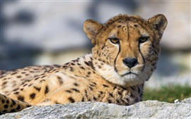 Preview wallpaper Cheetah, predator, face, eyes, rest, stone