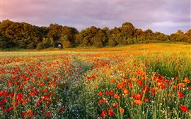Flowers, poppies, trees, fields, evening, sunset