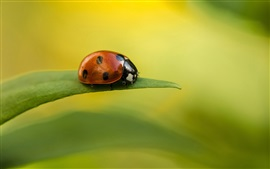 Preview wallpaper Green leaf, ladybug, dew