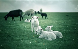 Preview wallpaper Lambs, white sheep, green fields