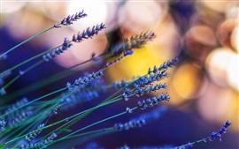 Лаванда, цветы, боке, блики