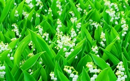 Preview wallpaper Lily of the Valley, white flowers, green leaves