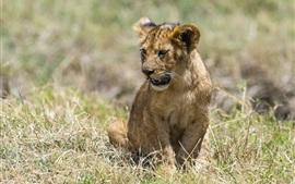 Pouco leão, gato grande, grama