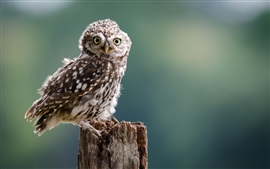 Preview wallpaper Little owl, bird, eyes, stump