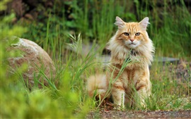 Preview wallpaper Orange cat sit in the grass