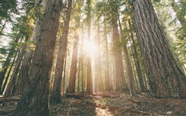 Preview wallpaper Oregon, forest, pine trees, dawn, sun rays