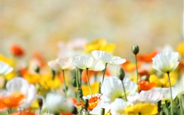 Poppies, flowers, yellow, white, orange, summer