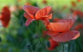 Preview wallpaper Red poppies, flowers close-up