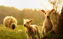 Sheep, lambs, wood