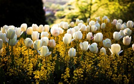 Preview wallpaper Spring, park, white tulip flowers