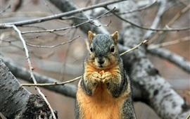 Esquilo da frente vista, roedor, árvore, galhos