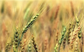 Preview wallpaper Wheat fields, green, blur