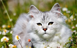 Preview wallpaper White cat in the grass, daisies flowers