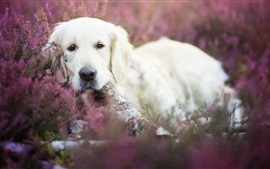 Preview wallpaper White dog, hidden
