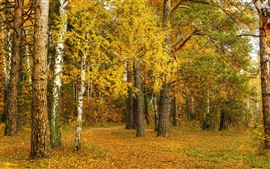 Preview wallpaper Autumn, birch, yellow leaves, trees, forest