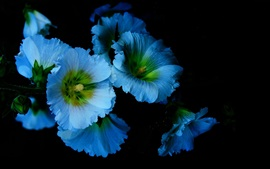 Preview wallpaper Blue flowers, petals, mallow, black background