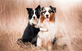 Cães, pastores australianos, amigos