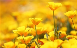 Eschscholzia californica, yellow flowers Wallpapers Pictures Photos Images