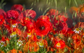 Preview wallpaper Grass, flowers, daisies, poppies